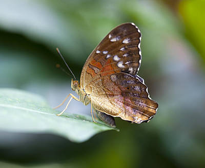 Photograph - Brown Butterfly by Kjirsten Collier