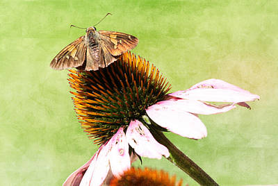 Photograph - Brown Butterfly On Coneflower by Trina  Ansel