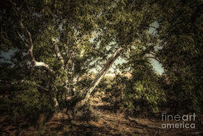 Brown Canyon Sycamore - Toned Art Print by Al Andersen
