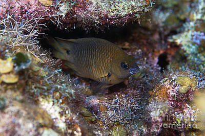 Photograph - Brown Chromis by JT Lewis