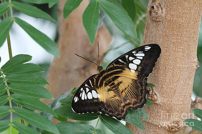 Art Print featuring the photograph Brown Clipper Butterfly #5 by Judy Whitton
