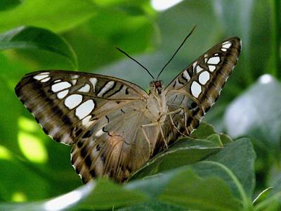 Photograph - Brown Clipper by Peggy King