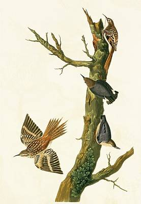 Nuthatch Wall Art - Photograph - Brown Creeper And Pygmy Nuthatch by Natural History Museum, London/science Photo Library