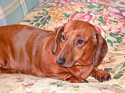 Photograph - Brown Dachshund Dog Art Prints by Valerie Garner