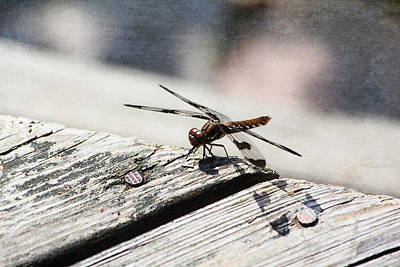 Photograph - Brown Dragonfly by Trina  Ansel