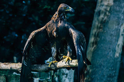 Eagle Photograph - Brown Eagle by Pati Photography