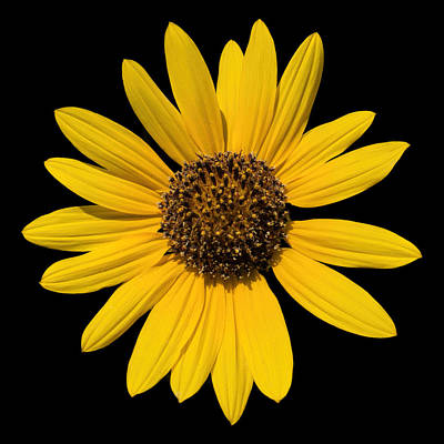 Photograph - Brown Eyed Susan by Fred Larson