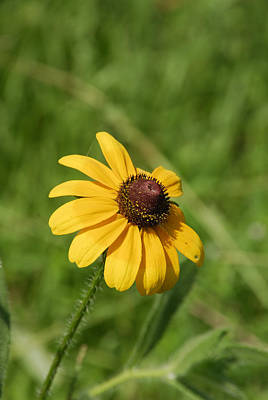 Photograph - Brown Eyed Susan Wildflower by Charles Beeler