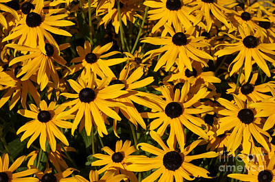 Photograph - Brown Eyed Susans by John  Mitchell