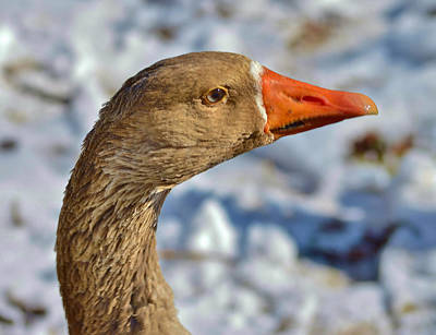 Photograph - Brown Goose by Thomas  MacPherson Jr