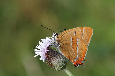 Photograph - Brown Hairstreak by Peter Skelton
