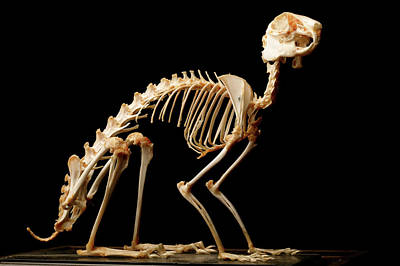 European Hare Wall Art - Photograph - Brown Hare Skeleton by Mauro Fermariello/science Photo Library