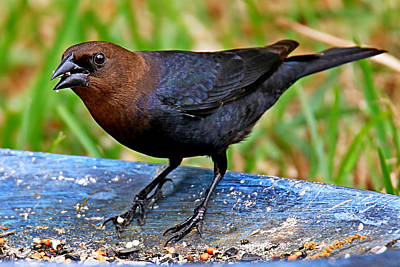 Photograph - Brown-headed Cowbird by Ira Runyan