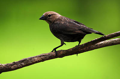 Photograph - Brown-headed Cowbird by Mike Martin
