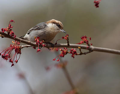 Photograph - Brown-headed Nuthatch by Melinda Fawver