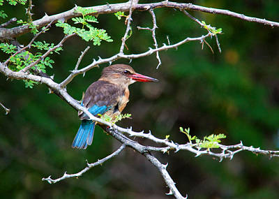 Thorn Tail Photograph - Brown-hooded Kingfisher by Brian Knott - Forget Me Knott Photography