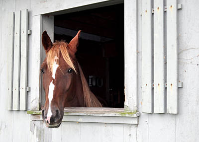 Photograph - Brown Horse 2 by Staci Bigelow
