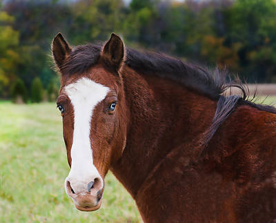 Photograph - Brown Horse-blue Eyes by Virginia Folkman