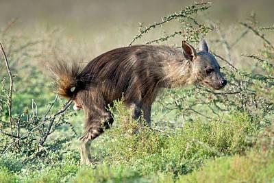 Hyena Photograph - Brown Hyena Scent Marking Its Territory by Tony Camacho