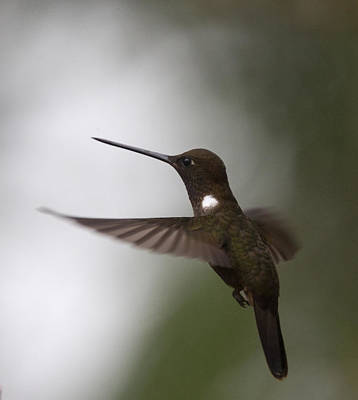 Photograph - Brown Inca Hummingbird by Tony Mills