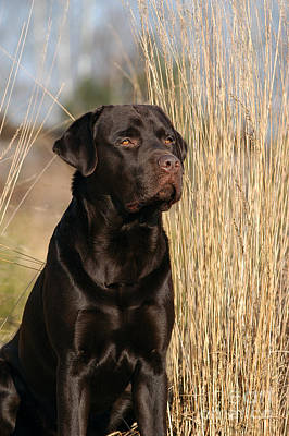 Photograph - Brown Labrador Retriever Dog Sitting In Reed by Dog Photos