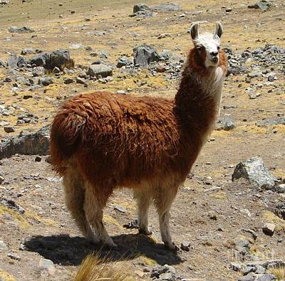 Photograph - Brown Llama by Lew Davis