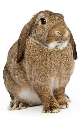 Brown Lop-earred Rabbit Isolated On White Art Print by Susan Schmitz