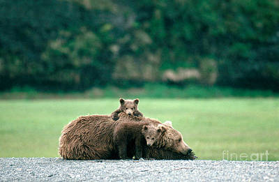 Photograph - Brown Or Grizzly Bear by Bruce M Herman