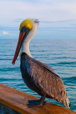 Photograph - Brown Pelican 3 by Kathleen Scanlan