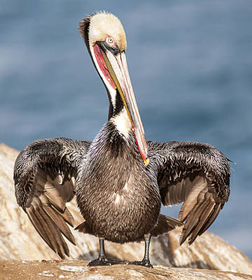 Photograph - Brown Pelican 3 by Lee Kirchhevel