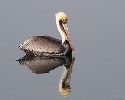 Photograph - Brown Pelican And Reflection by Avian Resources
