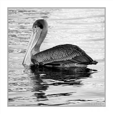 Photograph - Brown Pelican - Black And White by Carol Groenen
