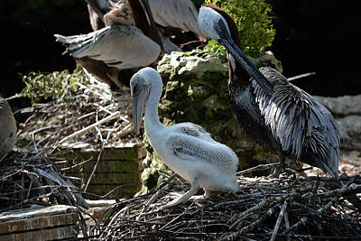 Photograph - Brown Pelican Chick And Parent  Watercolor by Judy Wanamaker