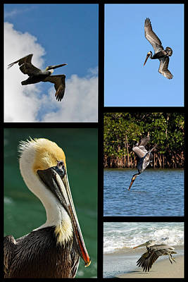 Photograph - Brown Pelican Collage by Dawn Currie