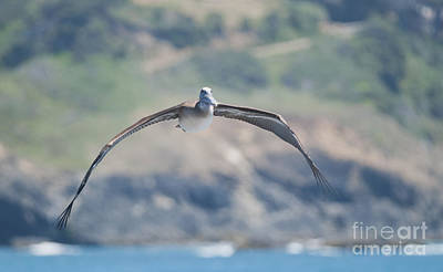 Photograph - Brown Pelican by Dan Suzio