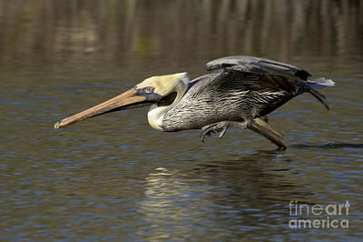 Photograph - Brown Pelican Fishing Photo by Meg Rousher