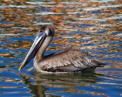 Brown Pelican - Florida Art Print by Kim Hojnacki