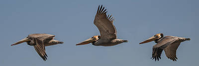 Photograph - Brown Pelican Flying Panorama 2 by Lee Kirchhevel