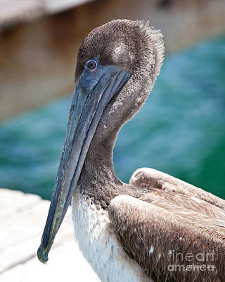 Photograph - Brown Pelican Friend II by Michelle Wiarda-Constantine