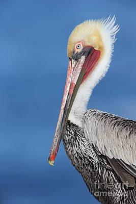 Pelican Photograph - Brown Pelican Head Shot by Bryan Keil