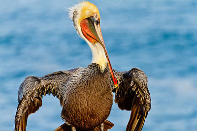 Photograph - Brown Pelican In A Pose by Ben Graham