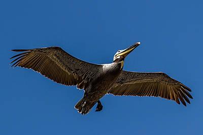 Photograph - Brown Pelican In Flight by John Haldane