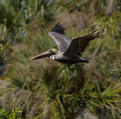 Brown Pelican - In Flight Art Print by Kim Hojnacki