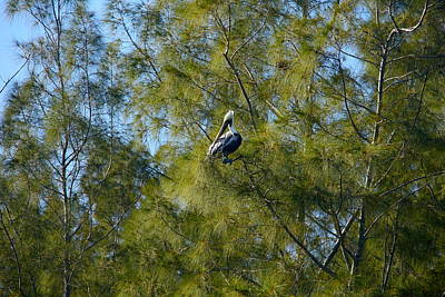 Photograph - Brown Pelican In The Trees by Denise Mazzocco