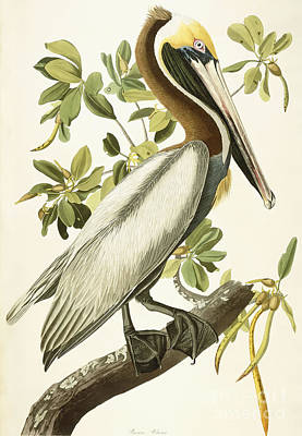 Print Drawing - Brown Pelican by John James Audubon