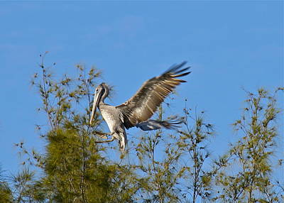 Photograph - Brown Pelican Landing by Denise Mazzocco
