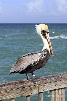 Photograph - Brown Pelican by Lee Serenethos