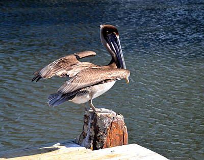 Photograph - Brown Pelican by Linda Rae Cuthbertson