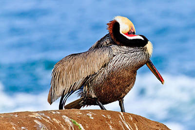 Photograph - Brown Pelican - Mating Season by Ben Graham