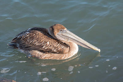 Photograph - Brown Pelican by Michael Gooch
